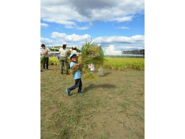 垂水区舞子の垂水区舞子のボーイスカウト神戸第2団 稲刈り